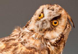 Grant_Museum_-_Owl